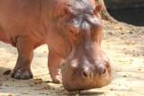 Chiang Mai Zoo hippo
