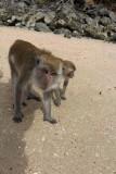 Ao Nang Fetid Khlong Monkeys
