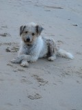 Ao Nang Beach dog