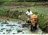 Rice Paddy Work