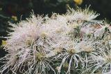 Spider chrysanthemums