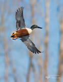 Northern Shoveler,canard souchet (Anas clypeata)