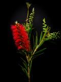 Australian Bottle Brush Flower