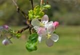 Apple tree flower with Dewdrops.jpg