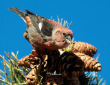 Crossbills of Salisbury Beach Reservation  2012