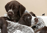 CRK German Shorthair Puppies