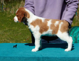 The Enlightenment Litter  Brittany Spaniel Puppies