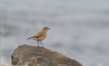 Northern Wheatear (F)
