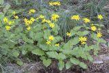 Arnica cordifolia  Heart-leaf arnica