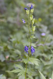 Aconitum columbianum  Monkshood