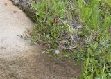 Kalmia microphylla  Alpine laurel