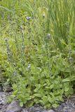 Alpine Speedwell   Veronica wormskjoldii