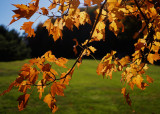 GOLDEN LEAVES  -  ISO 100  -  TAKEN WITH A SONY/ZEISS 24mm f/1.8 E-MOUNT LENS