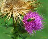 Sweat Bee on Bull Thistle
