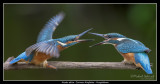 Birds of Sweden; Kingfishers