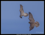 Peregrine Hand-off