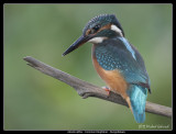 Kingfisher Closeup