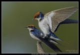 Wire-tailed Swallows