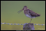 Common Snipe, Vombsjön