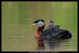 Tired Red-necked Grebe
