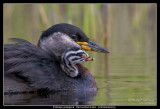 Birds of Sweden; Grebes
