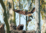 Hungry Eaglets