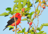 Scarlet Tanager in Mulberries