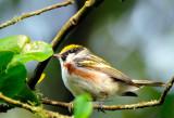 Chestnut-sided Warbler 4