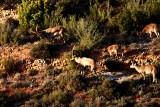 Spanish Ibex - Cabra hispanica o C. pyrenaica  - Cabra Montés - Cabra Salvatge