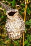 Penduline tit nest - Niu de Teixidor - Nido de Pajaro Moscon - Sabata feta pel sabater (noms deltaics)