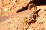 Brown Scorpion