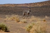 Donkey in the Desert