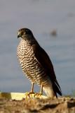Esparver - Accipiter nissus - Gavilan - Sparrowhawk