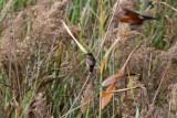 Bluethroat - Luscinia svecica - Cotxa Blava - Pechiazul - Blåhals
