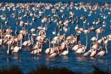 Greater Flamingo - Phoenicopterus ruber roseus - Flamenco (pajaros) - Flamenc (aus)