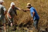 Shena and Josep Bertomeu (Polet) harvesting rice