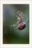 Araignée tissant