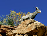 Desert Big Horn Sheep, Zion National Park, UT