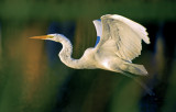 Great Egret, Boca Raton, FL