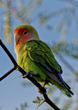 Peach-faced Lovebird, Gilbert Riparian Preserve, Gilbert, AZ