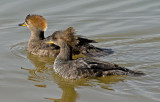 Female Hooded Mergansers, Gilbert Riparian Preserve, Gilbert, AZ