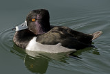 Ring-necked duck, Gilbert Riparian Preserve, Gilbert, AZ