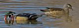 Wood duck pair, Cornville, AZ