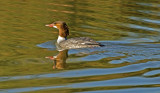 Common Merganser, Gilbert Riparian Preserve, AZ