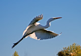 Great Egret in flight, Gilbert Riparian Preserve, AZ