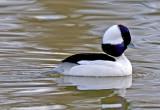 Bufflehead, Bubbling Ponds, Page Springs, AZ