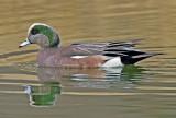 American Widgeon, Bubbling Ponds, Page Springs, AZ