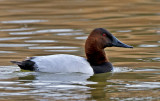 Canvasback, Bubbling Ponds, Page Springs, AZ