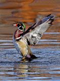 Wood Duck, Lo Lo Mai Springs, Sedona, AZ