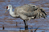 Wading Sandhill Crane